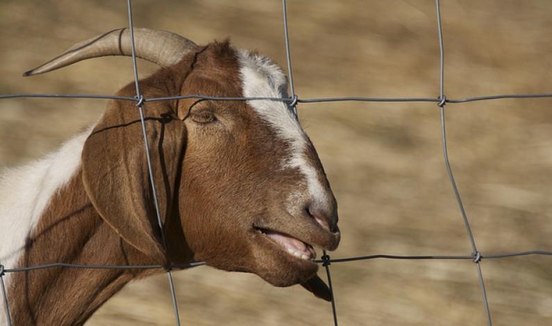 Śpiewające kozy hitem Internetu. Wybraliśmy dla Was 15 najlepszych wersji